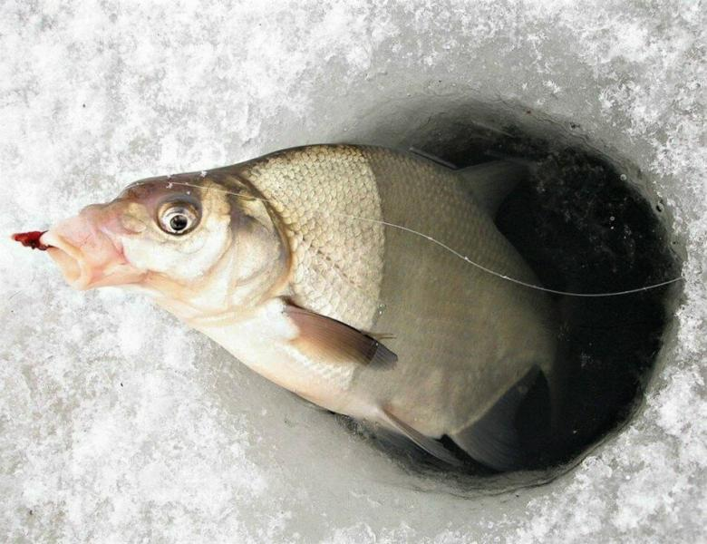 Как правильно ловить леща со льда. Выбор подходящего места и снасти