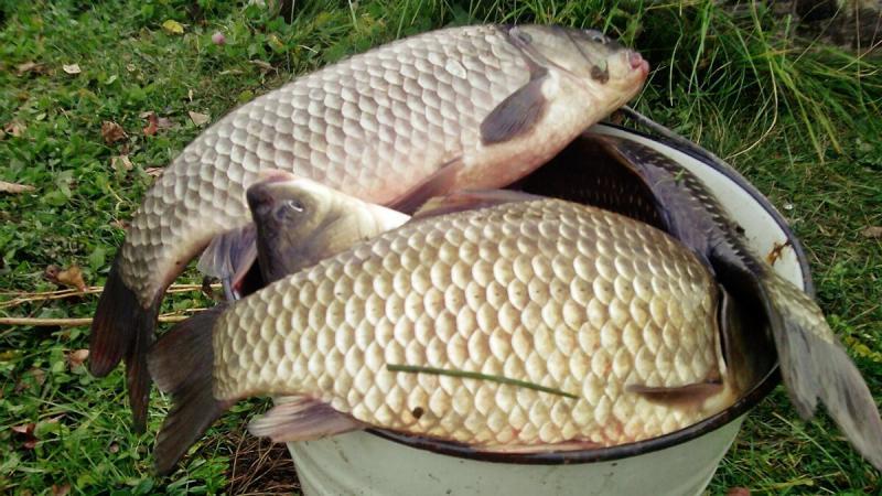 Опытный рыбак Степаныч рассказал, как он делает прикормку, с которой он ловит карася и леща в больших количествах