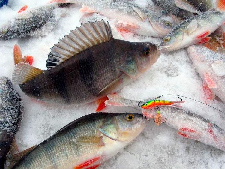 Рыбалка на окуня. Интересные факты