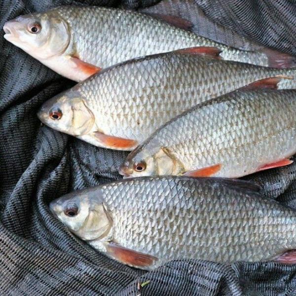 3 рыбы, которые обожают насадку из сыра