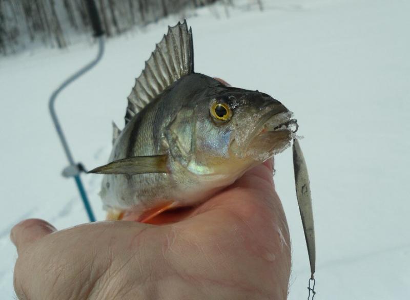 Действенный метод научиться ловить окуня на зимнюю блесну