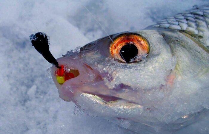 Несколько поиемов для успешной ловли мирной рыбы на мормышку