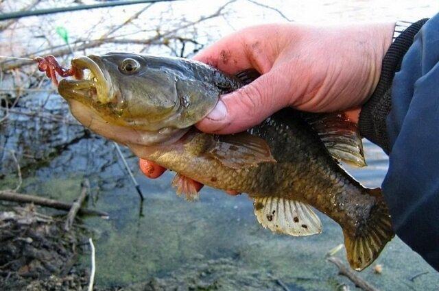 Незабываемые кадры атаки хищной рыбы на обычного червяка - ротан атакует