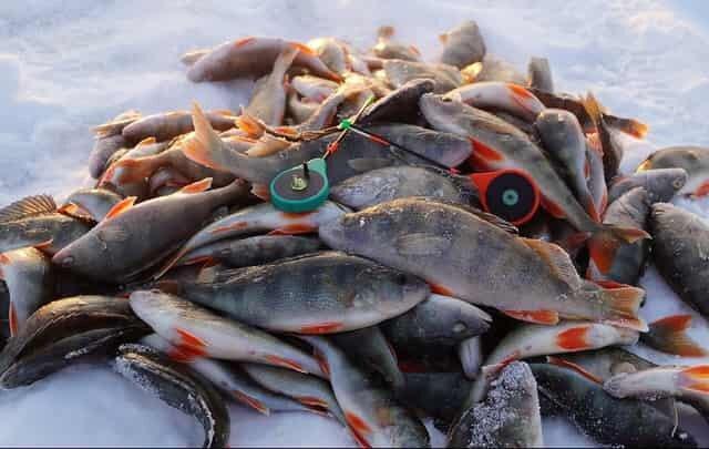 Опытный рыбак показал мне как безупречно ловить зимнего окуня на уловистый «Тандем»