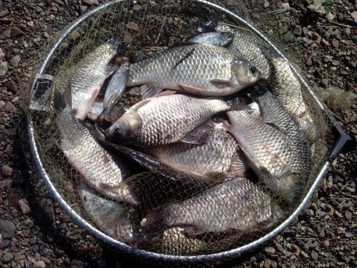 В Росрыболовстве разрешили ловить карасей, не придерживаясь суточных норм
