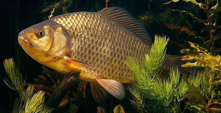 Чем прикармливать карася. Какая прикормка способна мгновенно приманить рыбу на поклев