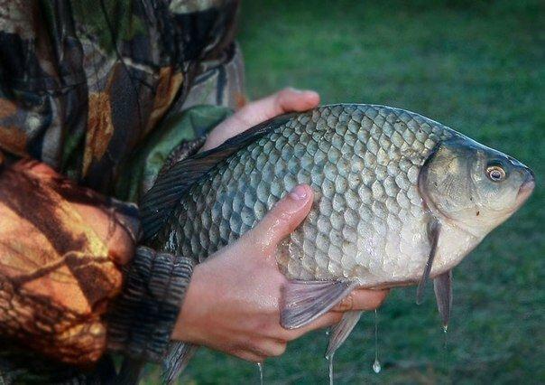 Как и на какой глубине лучше всего ловится карась: дельные советы рыболову