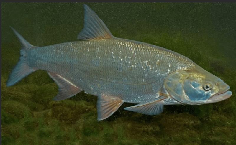 Когда у рыб начинается нерест