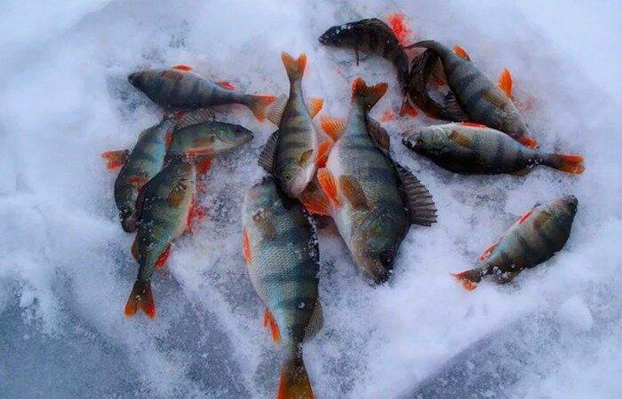 Рыболовная хитрость, которая поможет выловить не один десяток окуней на зимней рыбалке