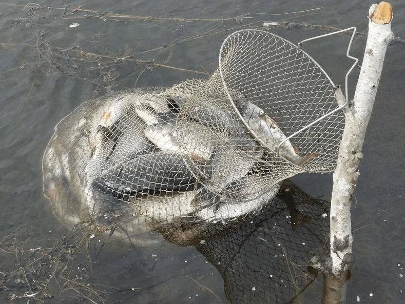 Список рыб которых можно ловить без ограничений и отдельно от суточной нормы