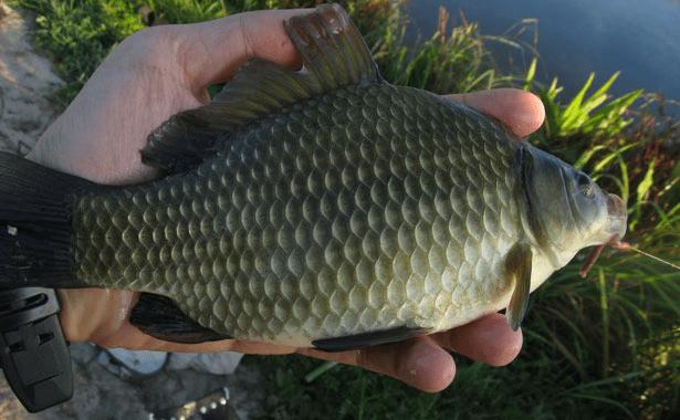Укропные черви - хитрая наживка, которую мирная рыба берёт без раздумий