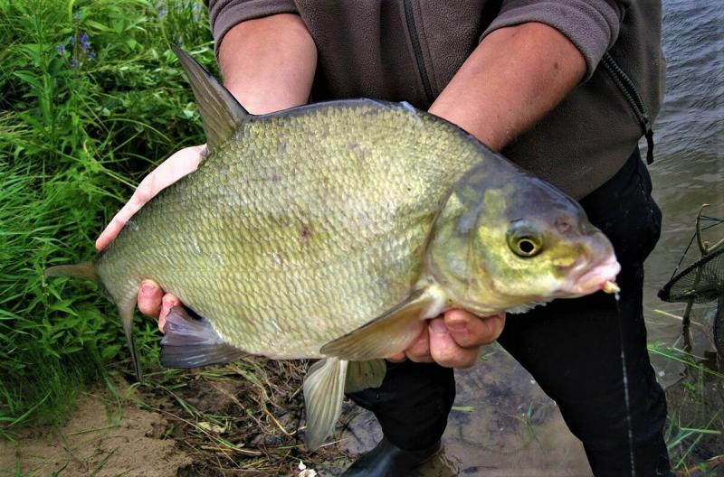 В чем разница между лещом и подлещиком, и почему это так важно знать рыболову?