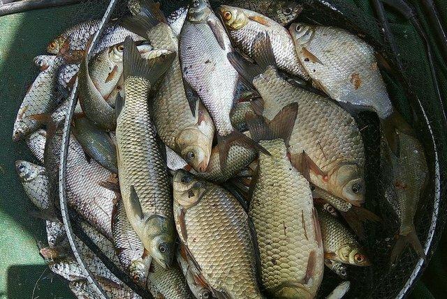 """Бывалый рыбак посоветовал манную насадку на мирную рыбу из 90-тых, которую трудно сбить с крючка (лучше, чем """"болтушка"""")"""