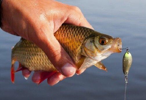 Три мирные рыбы, которые регулярно клюют на спиннинг