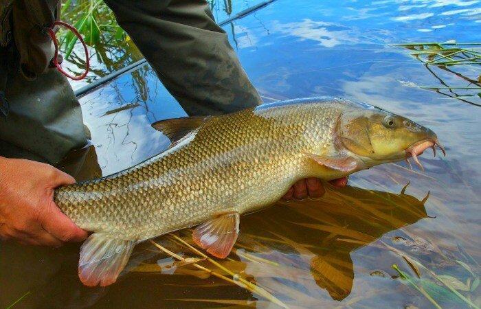Усач или Марена - рыба, которую лучше сразу отпускать после поимки