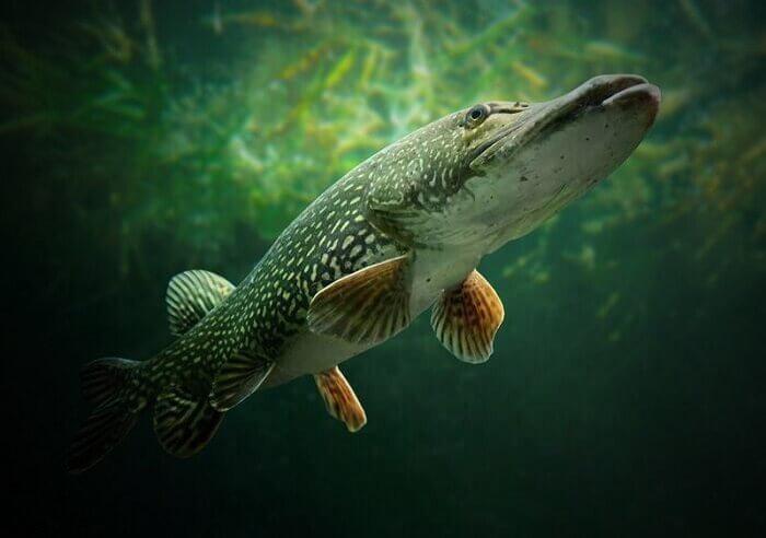 Видит ли рыба рыболова и как это может сказаться на клёве? Многие рыбаки этого не знают, а зря