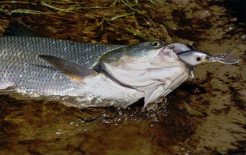 Невкусный трофей: рыбы, которых ловить сложно, а есть невозможно