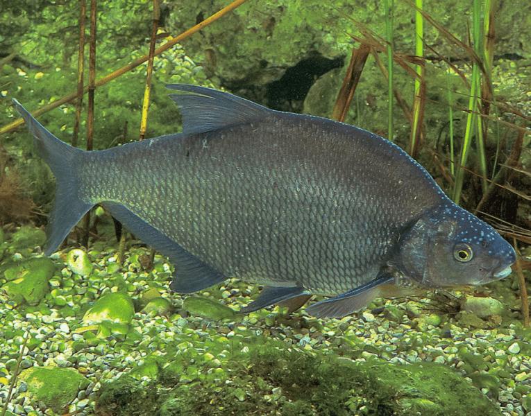 Сколько времени проходит, когда рыба из подлещика превращается в леща? Сколько живет лещ