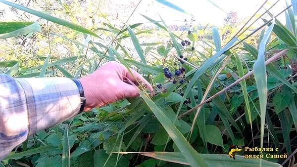 Пришлось попотеть, продираясь за щукой через Непроходимые заросли тростника