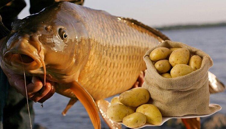 Ловим трофейного карпа или сазана, а в качестве насадки используем картофель