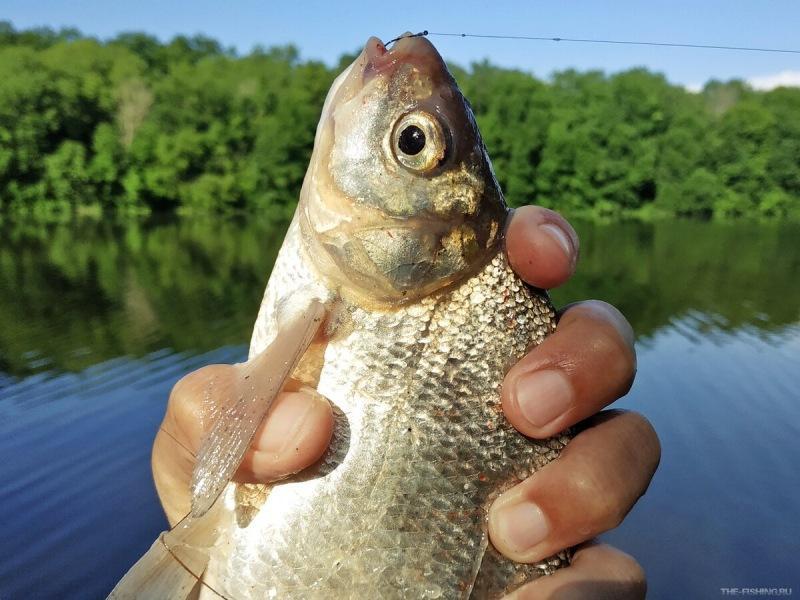 Не совсем обычное тесто, на которое рыба клюёт не задумываясь: лещ, карась, плотва и прочие карповые