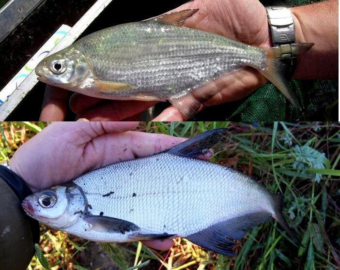 Четыре речные рыбы, которых путает 90% рыбаков