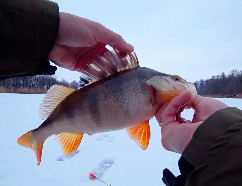 Как найти и поймать зимой крупного окуня