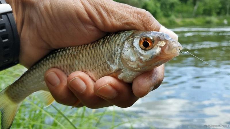 Какую рыбу используем в качестве наживки для рыбалки