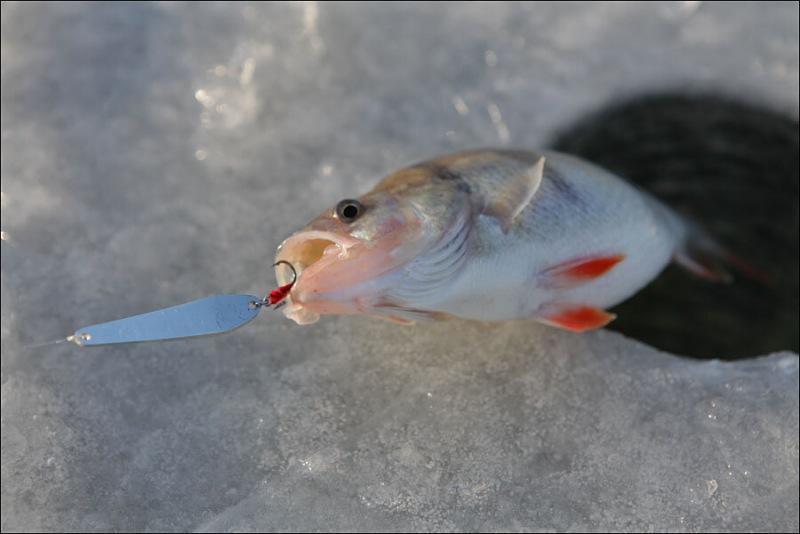Ловля окуней со льда. Блесна с «секретом», собирающая большое количество рыбы под лункой.