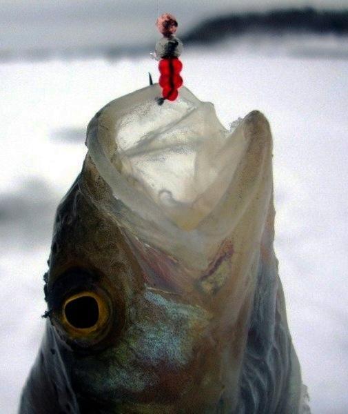 Ловля окуня по первому льду. Что необходимо знать рыболову?