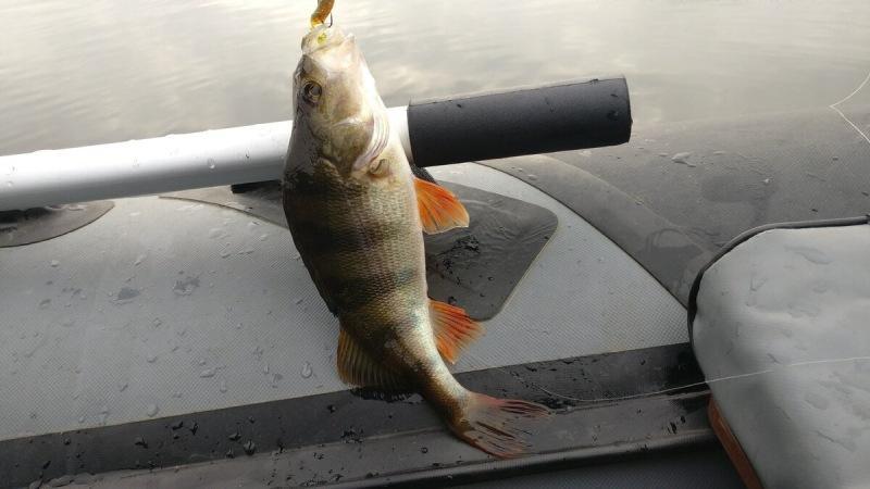 Осенью многие рыболовы берут в руки спиннинг и нацеливаются на ловлю крупной щуки, Но не надо забывать об осеннем – окуне.