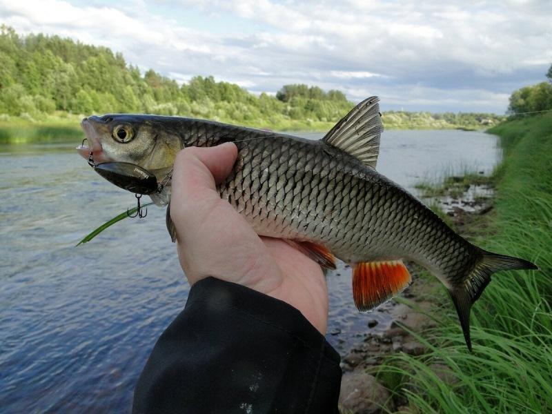 Три речных хищника, которых путают даже опытные рыбаки