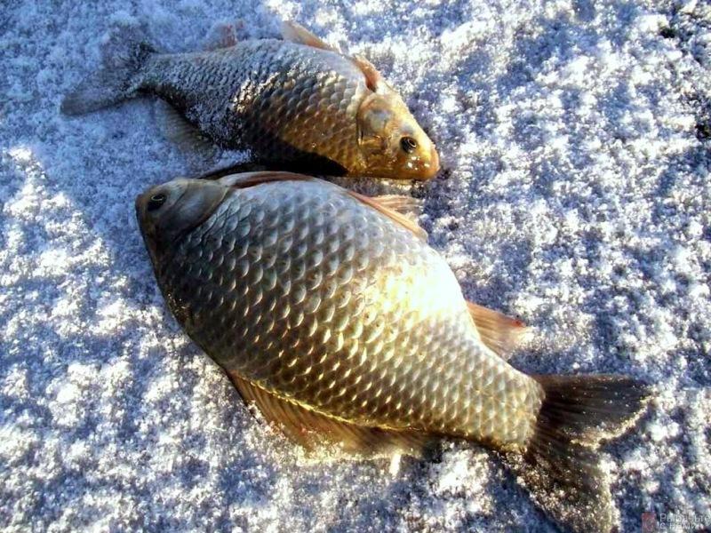 Идем на зимнюю рыбалку ловить карасей Выбираем лучшую наживка для хорошего улова зимой