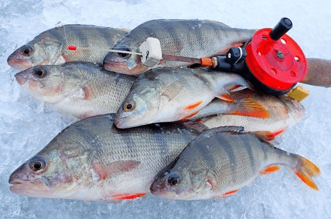 Как ловить окуня зимой. Самые основные моменты, которые будут полезны каждому рыбаку