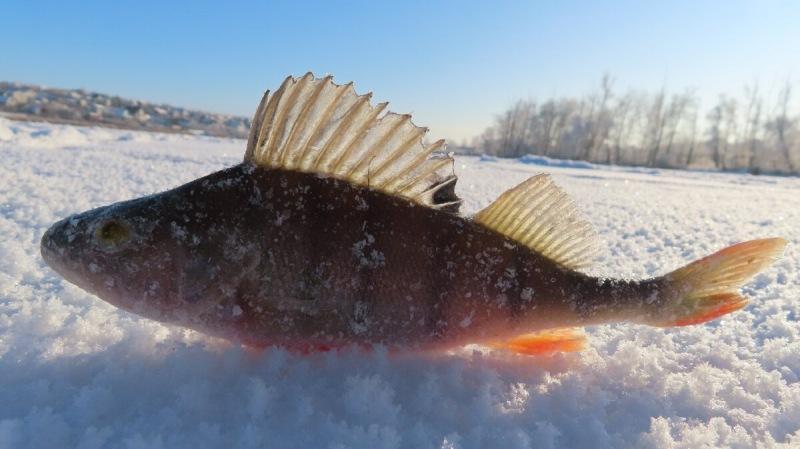 Ловля рыбы зимой на мормышку, техника уловистой игры мормышкой