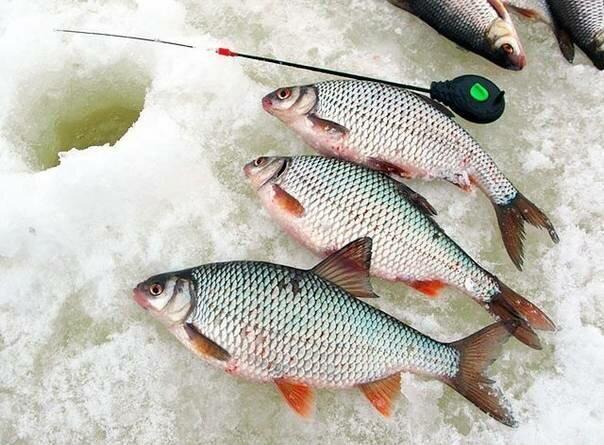 Очень уловистая наживка для всей белой рыбы. Мотыль отдыхает🎣