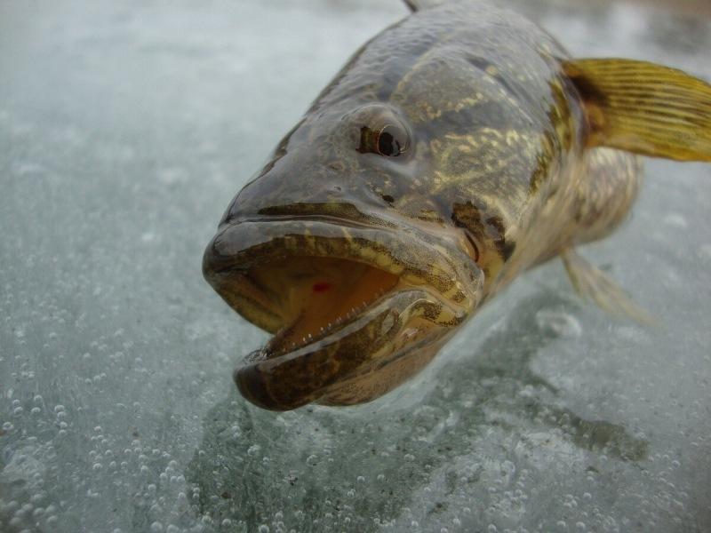 Зимняя рыбалка на ротана Почему наживку нужно менять каждые 10-12 минут и как себя ведет при этом ротан