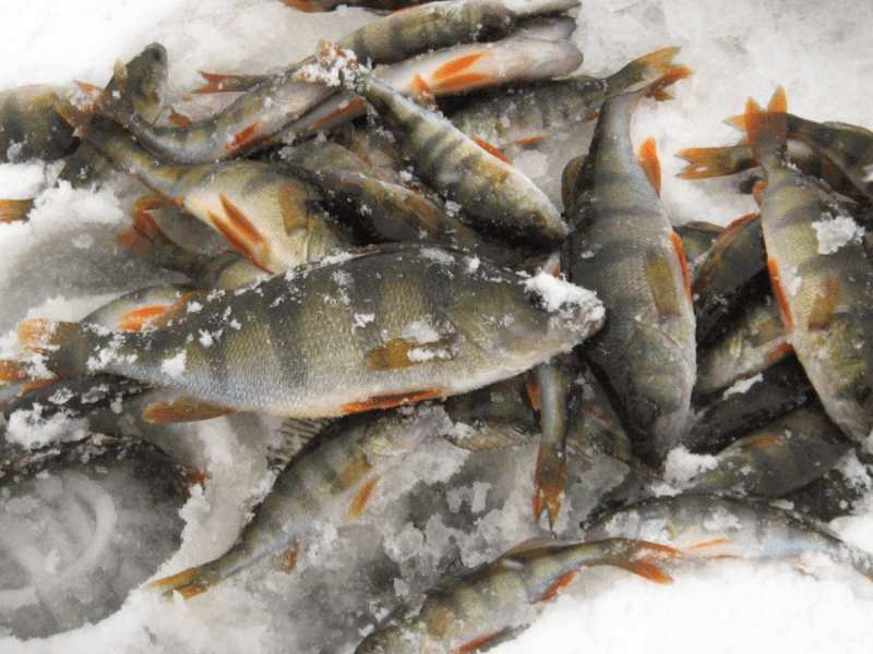Ловля окуня в январе. Самые главные моменты, которые нужно знать каждому рыбаку