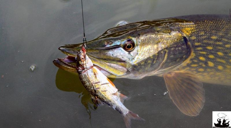 Никогда не используйте эту рыбу в качестве живца на щуку