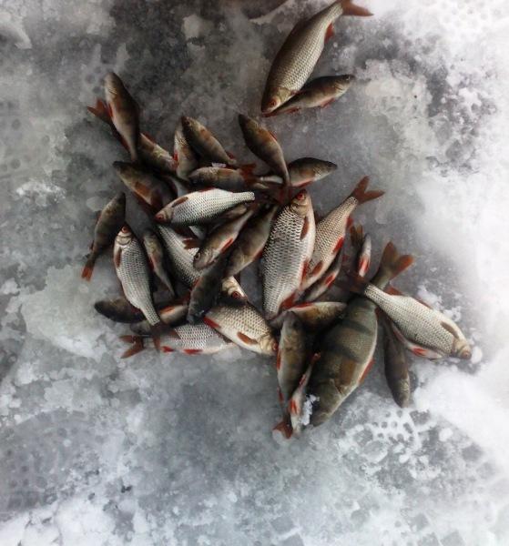 Секреты зимней рыбалки. Ловля плотвы в камышах