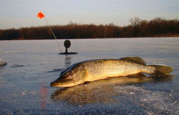 Зимняя ловля на жерлицы. От чего зависит успех ловли хищника на жерлицы?