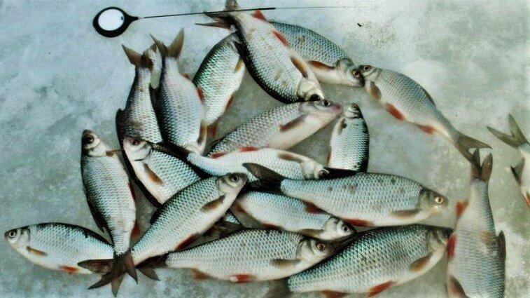 Как ловить плотву в глухозимье. 7 советов для успешной рыбалки