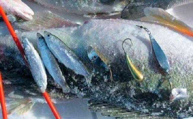 Как правильно ловить судака зимой. Часть 1. На какие приманки ловится зимний судак.