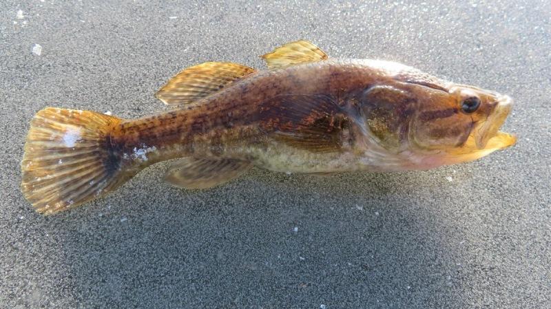 Ловля чудо-юдо ротана весной. Пищевая ценность рыбы ротан