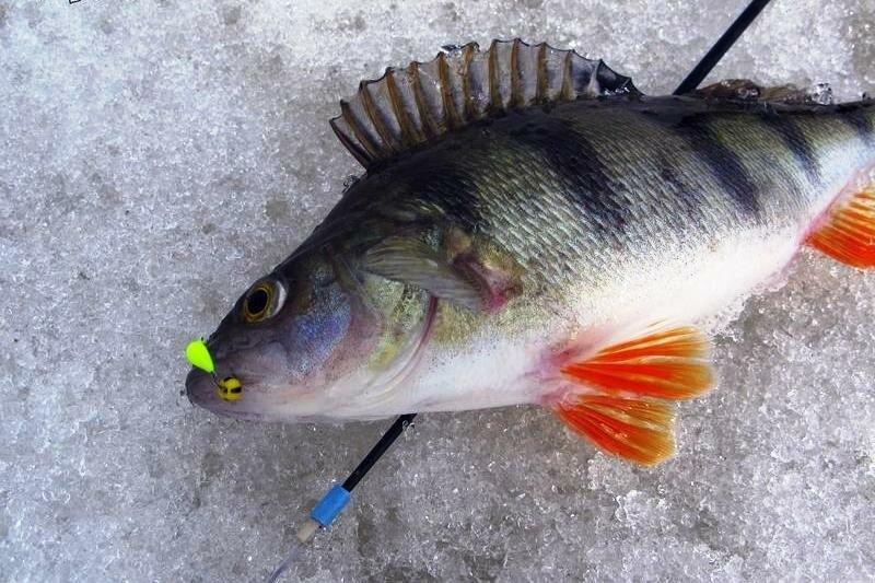 Ловля окуня на безмотылку. О чем необходимо помнить рыболову?