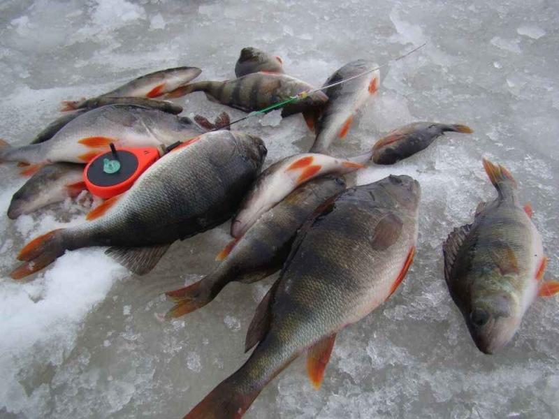 Ловля окуня в конце зимы. 5 хитростей для успешной рыбалки