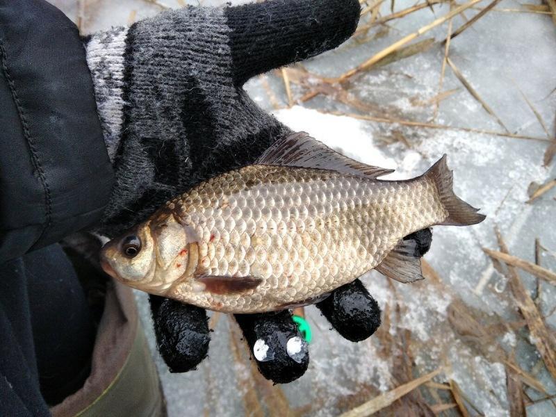 Несколько рабочих советов от опытного рыболова, по ловле карася зимой со льда