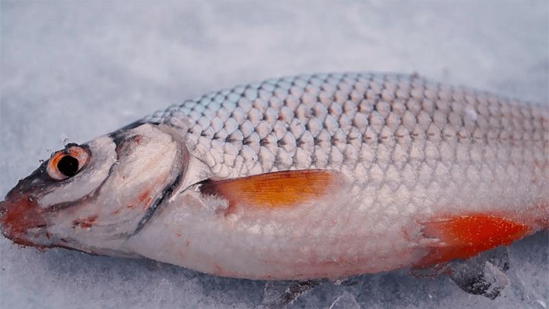 Как весной улучшить уловы плотвы при ловле со льда. Лов рыбы на личинки репейника