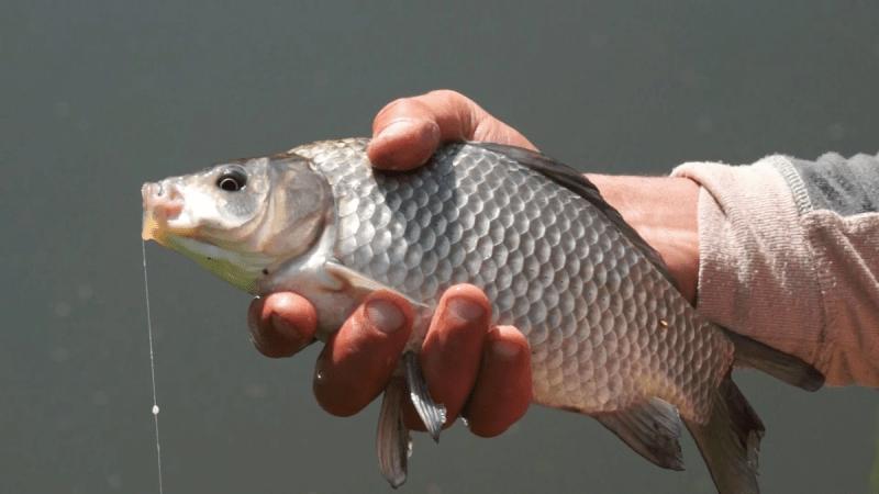 Насадка для мирной рыбы, которой мало кто пользуется