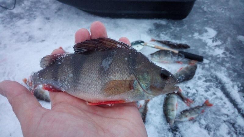 Преимущества блесны при рыбалке на окуня по последнему льду